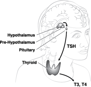 Outline of the thyroid and hypothalamus