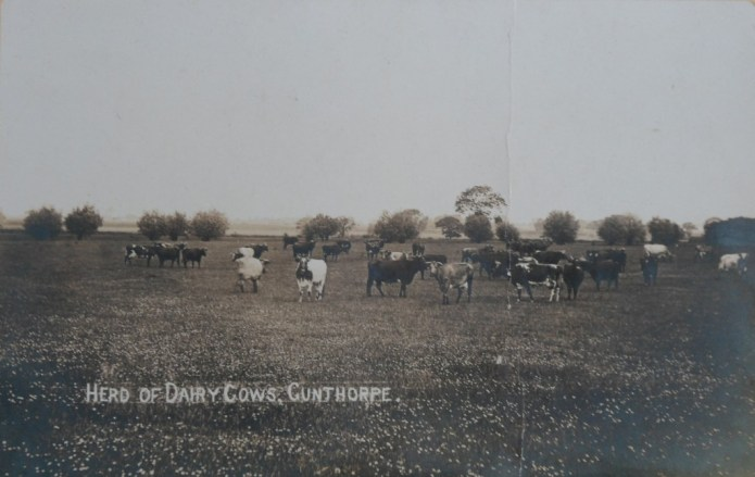 Herd of Diary Cows at Gunthorpe.