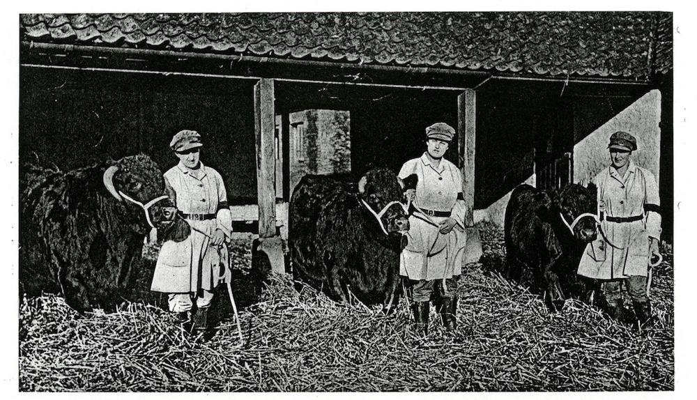 Land Girls on the Sandringham Estate with bulls