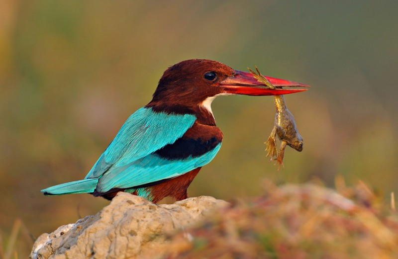 Wildlife Photography: White-throated Kingfisher (Halcyon smyrnensis)