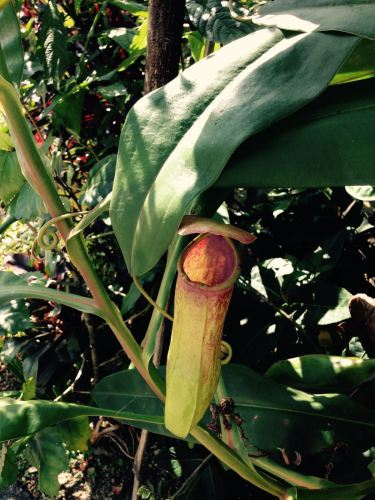 Pitcher plant in Mawlynnong