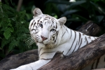 Tigress93