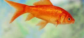 Goldfish have a memory-span of three months