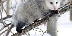 Opossum gestation period