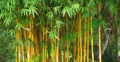 Bamboo can grow up to 3 ft in 24 hours