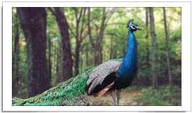 Indian National Bird Peacock
