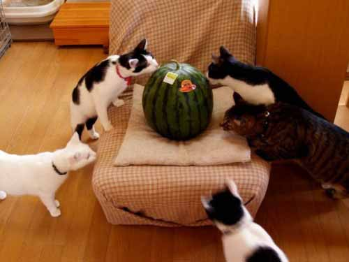 Cats with Watermelon
