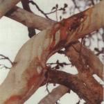 Aashura bleeding tree