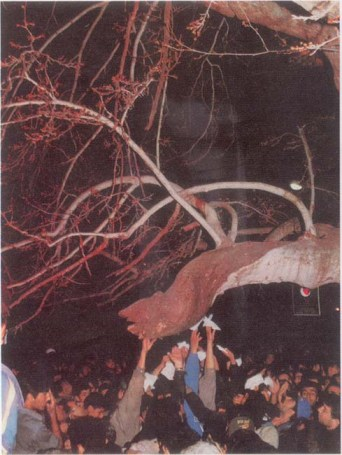Tree that bleeds