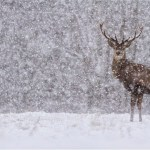 deer in snow