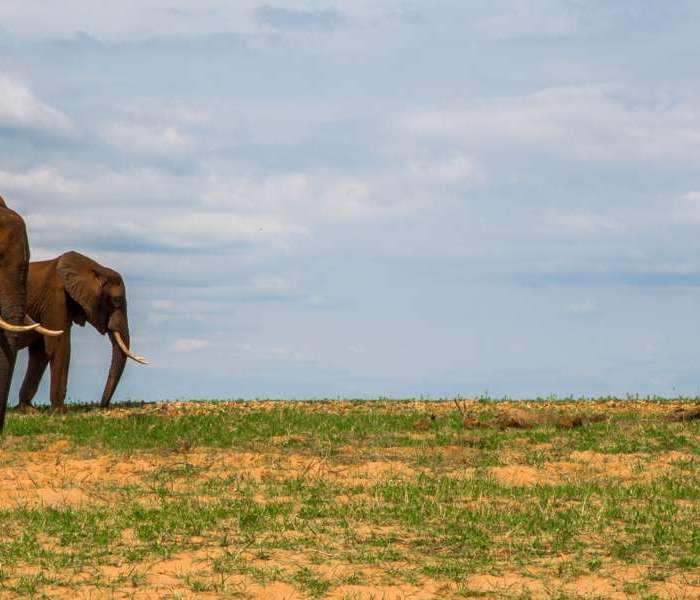 Zimbabwean Elephants