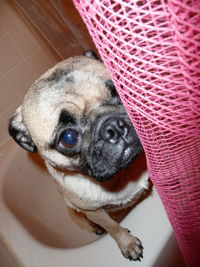 Frank the Wonderpug Gets a Bath