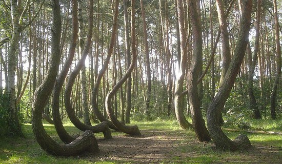 Crooked Forest of Gryfino