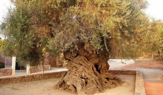 Elia Bouybon, Olive Tree of Vouves
