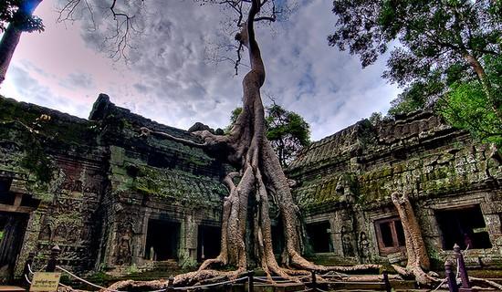 Silk Cotton Trees of Ta Prohm , Cambodia