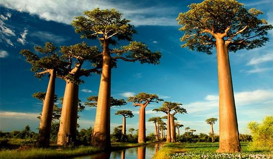 Teapot Baobab