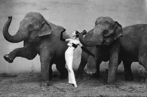 Dovima with the Elephants