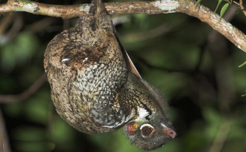 Varlığını Bilmediğiniz 10 Tuhaf Hayvan Sunda Uçan Lemur