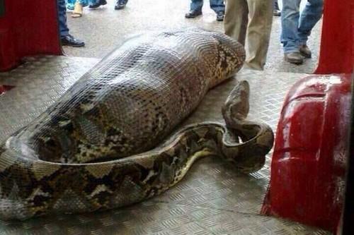 Python Swallows Man