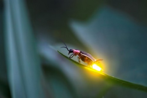 Firefly Glowing Animals