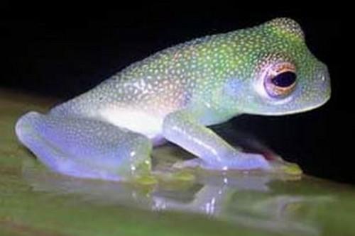 Glass Frog Transparent Animals