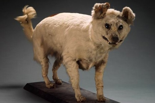 Extinct Breeds of Dogs - Kuri