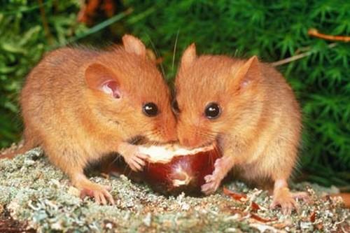 mammals with unusual defences Dormouse