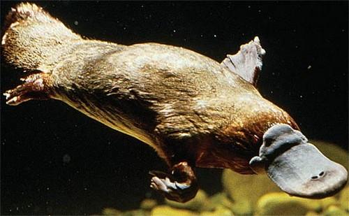 Platypus Diving