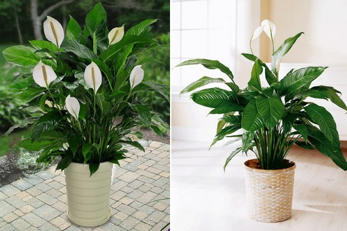 Peace Lily Air Purifying Indoor Plants