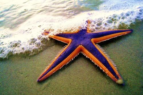 Royal Starfish on the beach
