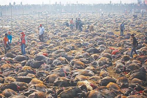 Animal sacrificed in Nepal