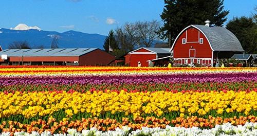 Skagit Valley Tulip Festivals