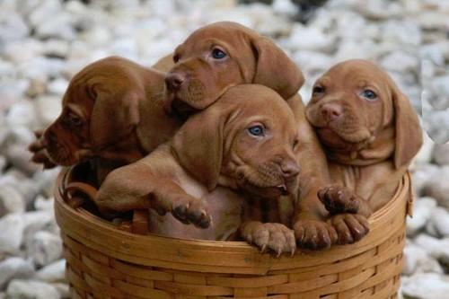 Vizsla Top 10 Dog Breeds