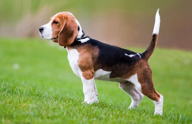 Beagle Dog Breeds for Kids and Families