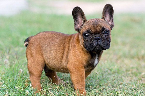 French Bulldog Adorable English Dogs