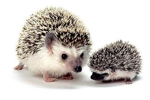 Great Pets Hedgehogs