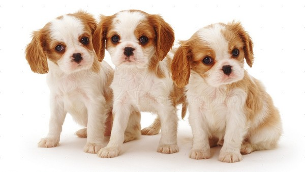 Blenheim Cavalier King Charles Spaniel pups,