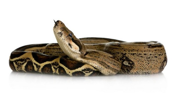Constrictor Snakes