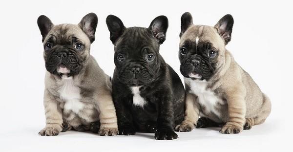 French Bulldog Cutest Puppies