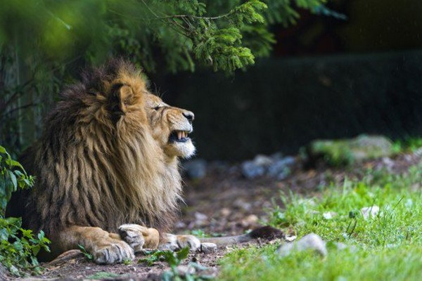 Lion as Pet