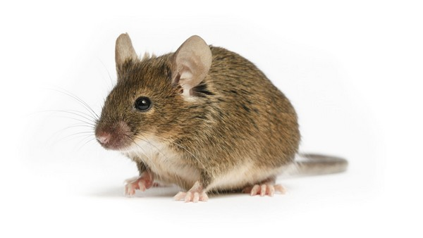 popular pets in America Mice