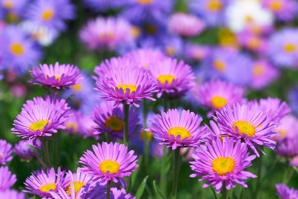 Beautiful Aster Flowers
