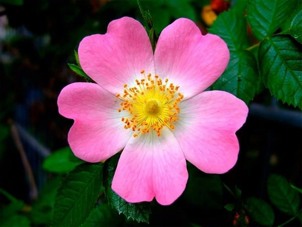 Eglanteria Rose