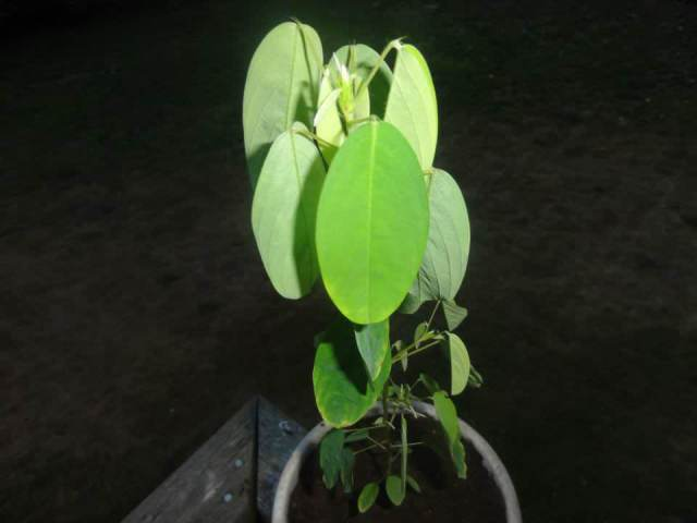 Desmodium Gyrans (Dancing Plant)