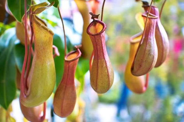 Pitcher Plants That Look Like Animals
