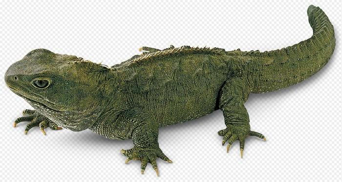 Tuatara Lizards