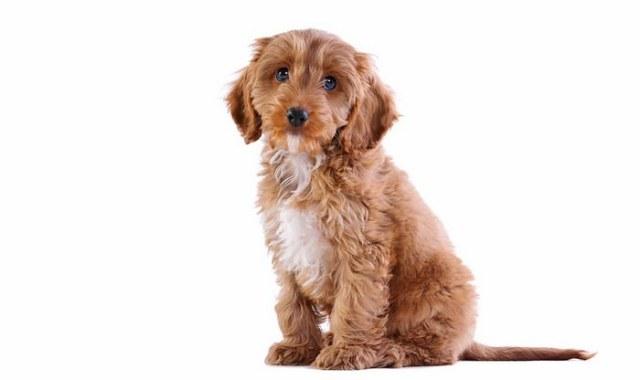 Cockapoo Best Family Dog