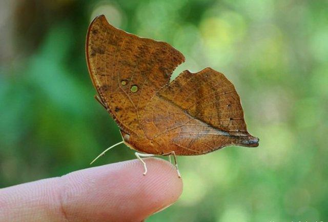 Indian oakleaf or dead leaf Butterfly