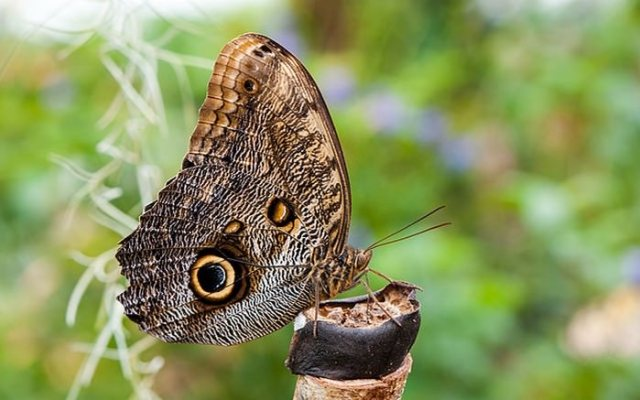 Giant Owl Forest Butterfly