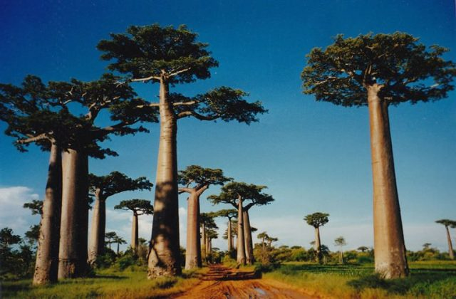 Baobab unusual and strange trees